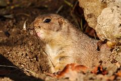 Marmot 001 (swissnature3) Tags: nature animals wildlife marmot murmeltier