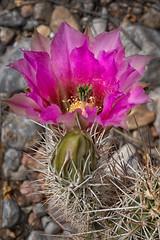 Hedgehog cactus (Joseph j7uy5) Tags: newmexico lascruces echinocereus hedgehogcactus