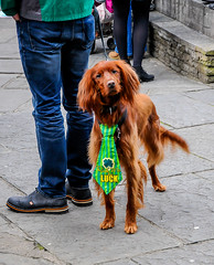 St.Patricks Day Dog (Hobo with a Nikon!) Tags: county street ireland red irish dog cute me saint for march clare day paddy patrick tie parade luck 17 patricks ennis rub stpatricksday oconnell setter countyclare paddysday 2016 irishredsetter rubmeforluck 17march2016