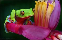 Yellow-eyed Tree Frog (Agalychnis annae), Costa Rica. (AnimalExplorer) Tags: macro green yellow nikon rainforest costarica outdoor conservation amphibian frog adventure jungle tropical rana treefrog centralamerica puravida yelloweyed heredia arboreal anuran agalychnisannae