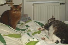There is somebody in my bed (Finn Frode (DK)) Tags: pet cats animal cat denmark bed sleep watch indoor olympus som somali mixedbreed somalicat bastian domesticshorthair caithlin omdem5 dusharacathalcaithlin