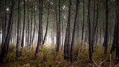 Magic woods (Jean-Luc Peluchon) Tags: light mist france tree fog mystery pine forest haze pin lumire arbre brouillard fort mystre