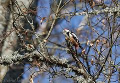 Middle Spotted Woodpecker, Pic mar 3984.jpg Explore 16.04.16 (Zoizeaux de Gabriel) Tags: latvia picmar lettonie dendrocoposmedius middlespottedwoodpecker coth5