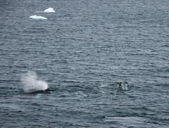 IMG_8330 (peng_tim1) Tags: antarctica whale wal antarctic antarktis anartikis
