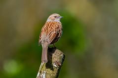 Dunnock (prunella modularis) (phat5toe) Tags: nature birds nikon wildlife feathers dunnock avian prunellamodularis wigan flashes d300 greenheart lancashirewildlifetrust sigma150500