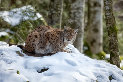 Lynx lynx (Stephenhunt61) Tags: park winter parco snow nature animals outdoor natura felino felines mammals lince mammifero
