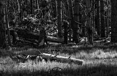 Forest Border I _ bw (Joe Josephs: 2,650,890 views - thank you) Tags: california trees landscape westcoast forests fineartphotography travelphotography californialandscape landscapephotography outdoorphotography fineartprints fiscaliniranchpreserve joejosephsphotography