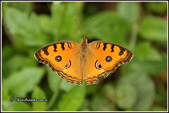 6095 - peacock pansy (chandrasekaran a 32 lakhs views Thanks to all) Tags: india nature butterfly insects chennai peacockpansy canon60d tamronaf18270mmpzd