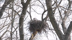 BALD EAGLE FEEDING VERY YOUNG EAGLETS, LEVEE ROAD, BROOKVILLE, INDIANA, APRIL 4, 2016 (nsxbirder) Tags: video feeding baldeagle indiana eaglet brookville whitewaterriver leveeroad