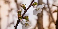 Blossoms (thomask8) Tags: flowers plants flower nature floral canon outdoors photography spring dof bokeh ngc bloom blooming naturescenes simplyflowers
