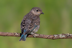 Young eastern bluebird (Phiddy1) Tags: baby toronto ontario canada birds bluebird easternbluebird