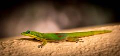 Gecko (adechazal2002) Tags: usa fauna hawaii maui gecko