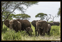 Tarangire 2016 10 (Havaux Photo) Tags: elephant robert rio river tanzania photo lion ostrich leon zebra antelope avestruz giraffe gazelle elefant antilope tarangire elefante riu gacela cebra estru jirafa lleo tarangirenationalpark antilop gasela havaux
