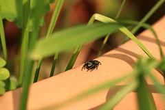 Asianellus festivus juvenile (Carahiah) Tags: macro spider eyes yeux araignée regard arachnide grosyeux asianellusfestivusjuvenile