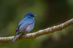 Nilgiri Flycatcher [Male] (rao_subashchandra) Tags: blue male ooty nilgiriflycatcher