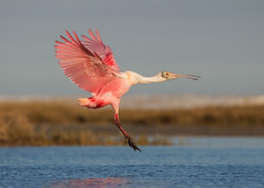 Roseate Spoonbill (PeterBrannon) Tags: bird nature sunrise inflight wings bravo florida wildlife landing spoonbill roseatespoonbill wadingbird ajajaajaja sarasotacounty
