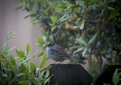 The Little White-crowned Sparrow (Life_After_Death - Shannon Day) Tags: life white bird art yard canon garden photography eos death backyard day feather birdfeeder feeder shannon oasis sparrow after crown dslr canondslr canoneos zonotrichialeucophrys whitecrowned lifeafterdeath zonotrichia leucophrys 50d shannonday canoneos50d eosdslr canoneos50ddslr lifeafterdeathstudios lifeafterdeathphotography shannondayphotography shannondaylifeafterdeath lifeafterdeathstudiosartandphotography shannondayartandphotography