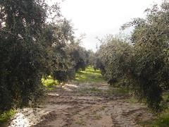 Sierra Sur. Martn de la Jara (Sevilla). (m.jose_aroca) Tags: sevilla cultivos relieve olivo aceituna sierrasur orografa martndelajara actividadeconmica geografafsica