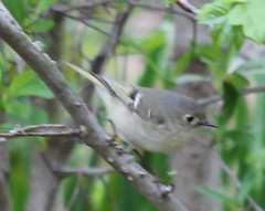 Ruby-crowned Kinglet (lycaenidae_nm) Tags: usgs