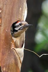 IMG_9910 Ladder-backed Woodpecker in nest hole (lois manowitz) Tags: birds nest tucson woodpeckers