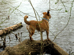 Watching water (Zandgaby) Tags: wood dog tree water river outdoor watching trunk overlooking balancing attentive