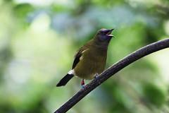 Zealandia ~ Korimako (whitebear100) Tags: newzealand nz wellington northisland zealandia bellbird korimako