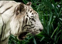White Tiger (timh255) Tags: animal zoo nikon singapore tiger 70300mm whitetiger lightroom singaporezoo d5200 timhutchinson