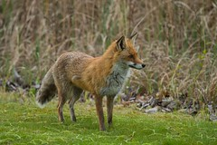 Fuchs 2016 (rieblinga) Tags: leica europa fuchs dmr r8 raubtier rotfuchs