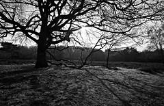 Networks (M a u r i c e) Tags: shadow blackandwhite bw sunlight tree nature netherlands monochrome grass landscape heather loosdrecht efs1022mm