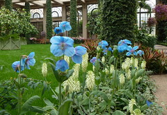 The best for last (edenseekr) Tags: longwoodgardens himalayanbluepoppy meconopsislingholm worldsmostbeautifulflower