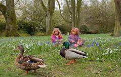 Ein Entenpaar besucht die Kindergartenkinder, auf der Fhlingswiese ... (Kindergartenkinder) Tags: park essen dolls outdoor sony feld wiese blumen enten landschaft annette tivi stockente gruga himstedt kindergartenkinder sanrike
