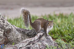Gray Squirrel on Tree Root (Kenneth Keifer) Tags: blue trees sky green nature forest dark landscape michigan scenic evergreen pines edge tall trunks needles thick lumber conifers northwoods wooded benziecounty forested
