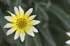 160416 In the garden _DEB9898 copy (debunix) Tags: macro yellow whoami blossombloomflower