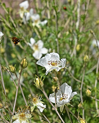Busy Bee-HBW! (Jo Zimny Photos) Tags: flowers white green leaves spring bokeh bees foraging bokehwednesdays bokehwednesdaytoo apacheplumes