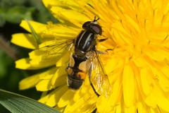 Hoverfly- Helophilus hybridus (linanjohn) Tags: uk macro nature wildlife insects cumbria syrphidae diptera hoverflies eristalinae helophilushybridus meathopmoss