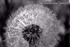 Suc-seeding (bindysmith) Tags: blackandwhite bw plant flower macro home nature closeup canon garden weed natural lawn seed blow dandelion seeds fairies eos1100d