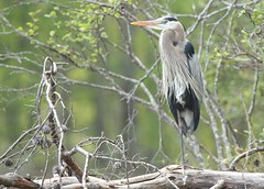 The King of Lake Robinson (hennessy.barb) Tags: bird heron perched greatblueheron wadingbird
