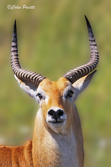 red lechwe4 (kobus leche leche) (Colin Pacitti) Tags: portrait animal closeup outdoor ngc npc antelope wildanimal lechwe coth redlechwe fantasticwildlife coth5 kobuslecheleche hennysanimals sunrays5