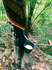 Rubber Tapping (Daphne's Escapades) Tags: natural awesome rubber latex citygirl tapping aborigines livelihood firsttimeseeing