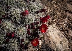 Claret cup cactus (Carolannie...sorta here and there) Tags: red cactus spring colorado desert multiple cactaceae vignette lightroom echinocereus echinocereustriglochidiatus bloomingcactus claretcupcactus wfgna deltacountyco lightroompresets highdesertplants april2016 sonyrx100m2 westernslopeco dominguezescalantenationalconservationareadeltacountyco