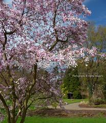 MAGNOLIA (David~Preston) Tags: uk flowers england tree spring cheshire seasonal magnolia nessbotanicgardens thewirral