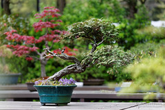 20160413-34-Bonsai at Kyoto Botanic Gardens (Roger T Wong) Tags: travel trees holiday japan kyoto bonsai botanicgardens 2016 canonef70200mmf4lisusm canon70200f4lis canoneos6d rogettwong