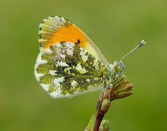 Orange-tip Anthocharis cardamines (Iain Leach) Tags: macro nature beautiful beauty closeup canon butterfly insect outdoors photography image wildlife moth conservation lepidoptera photograph invertebrate macrophotography orangetip anthochariscardamines birdphotography beautyinnature wildlifephotography canoncameras canon5dmk3 canon1dx wwwiainleachphotographycom iainhleach