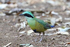 Bar-bellied Pitta (male) (Vinchel) Tags: park bird nature animal cat canon is outdoor wildlife vietnam national ii l usm f28 tien 400mm 1dx