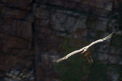 ItsusikoHarria-49 (enekobidegain) Tags: mountains montagne vultures monte euskalherria basquecountry bui pyrnes pirineos mendia buitres paysbasque nafarroa pirineoak bidarrai saiak vautours itsasu itsusikoharria
