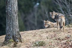 Coyotes (Sophie 33) Tags: animaux parcomega dcembre 2015