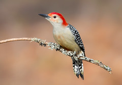 Red bellied woodpecker (Phiddy1) Tags: ontario canada birds niagarafalls woodpecker redbelliedwoodpecker
