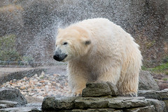 IJsbeer (Polar bear) 20151210-1304 (bzd1) Tags: nature animal blijdorp bears natuur polarbear nl ijsbeer animalia mammalia ursus carnivore beren carnivora diergaardeblijdorp chordata zoogdieren roofdieren ursusmaritinus ursdae