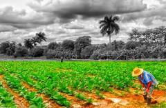 La tierra del Tabaco #Cohiba in #Viales #Cuba  #UNESCO area - Visit us in The Casa Particular Renga y Julia www.CasaVinales.jimdo.com #TourGuide and #BedandBreakfast #CubaTravel 2016 Top10 Place in The World  (Casa Particular Vinales) Tags: cuba unesco bedandbreakfast tourguide cohiba viales cubatravel