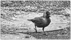Choucas des tours (Coloeus monedula) (yann.dimauro) Tags: france animal nb fr extérieur oiseau rhone faune rhônealpes givors ornithologie